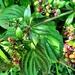 Autumn berries 10: Madder