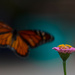The Monarch and the zinnia by randystreat