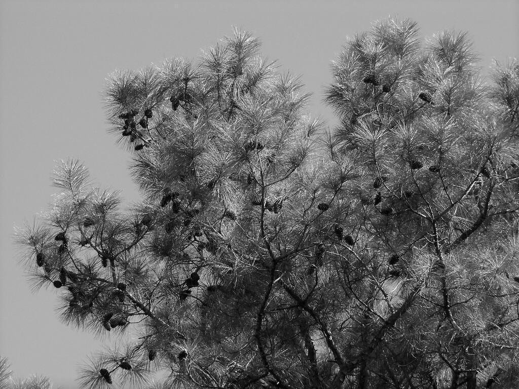 The tree rats won't starve this winter... by marlboromaam