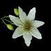 Clematis paniculata