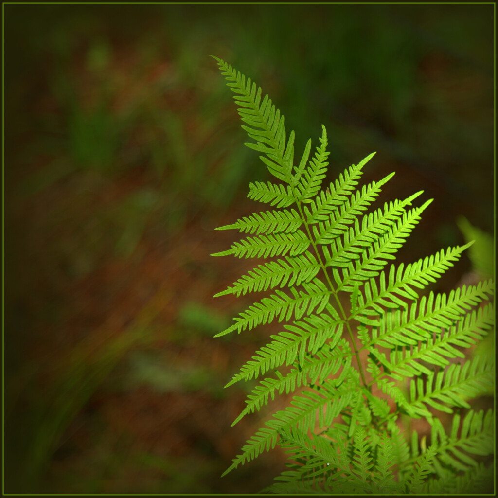 The fern by dide