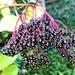 Autumn  berries 12: Elderberries