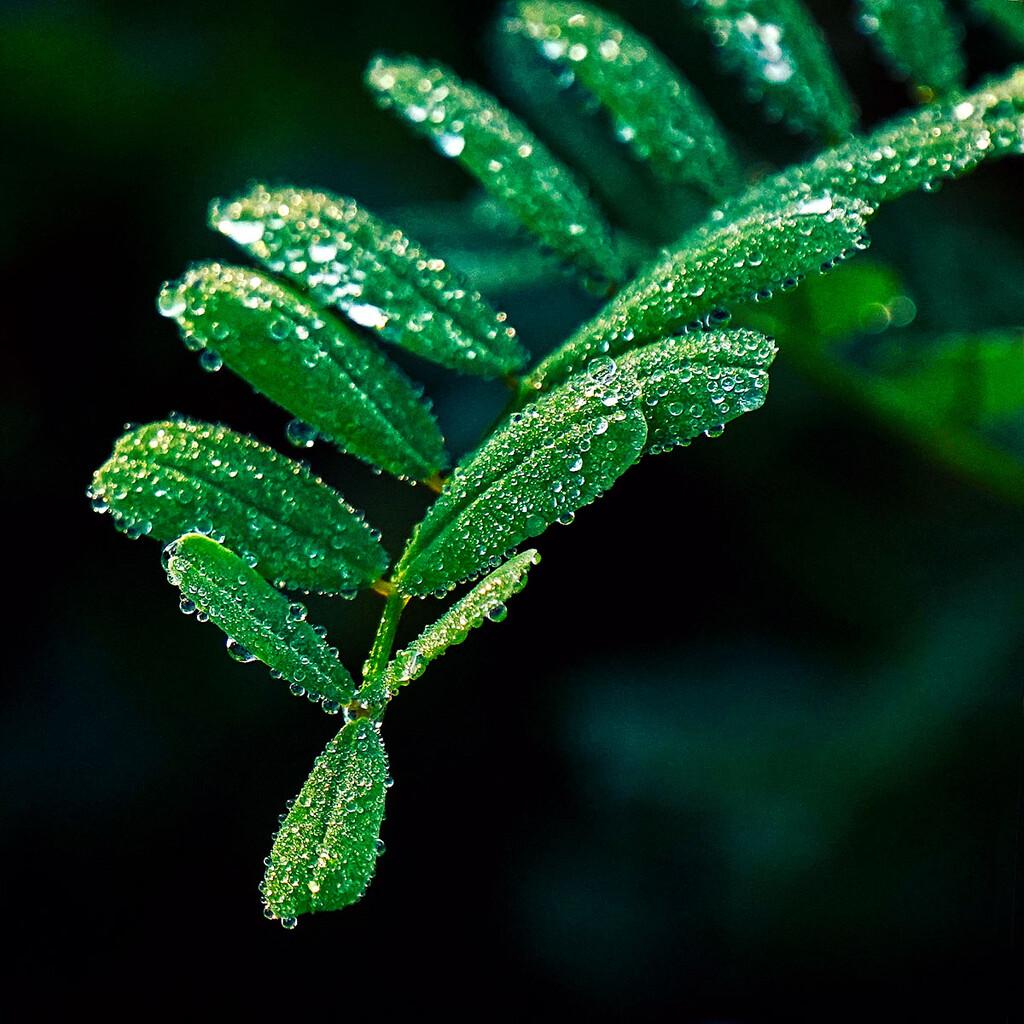 Morning Dew by gardencat