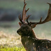 Fallow stag up close