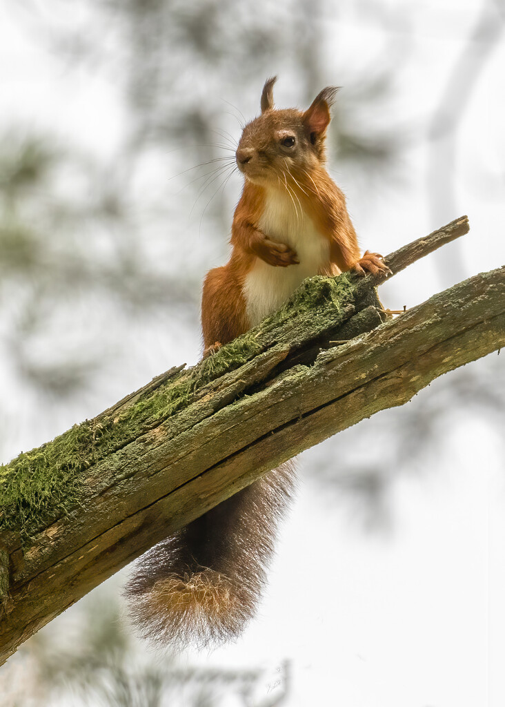 Red Squirrel  by shepherdmanswife