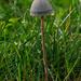 Brown hay mushroom