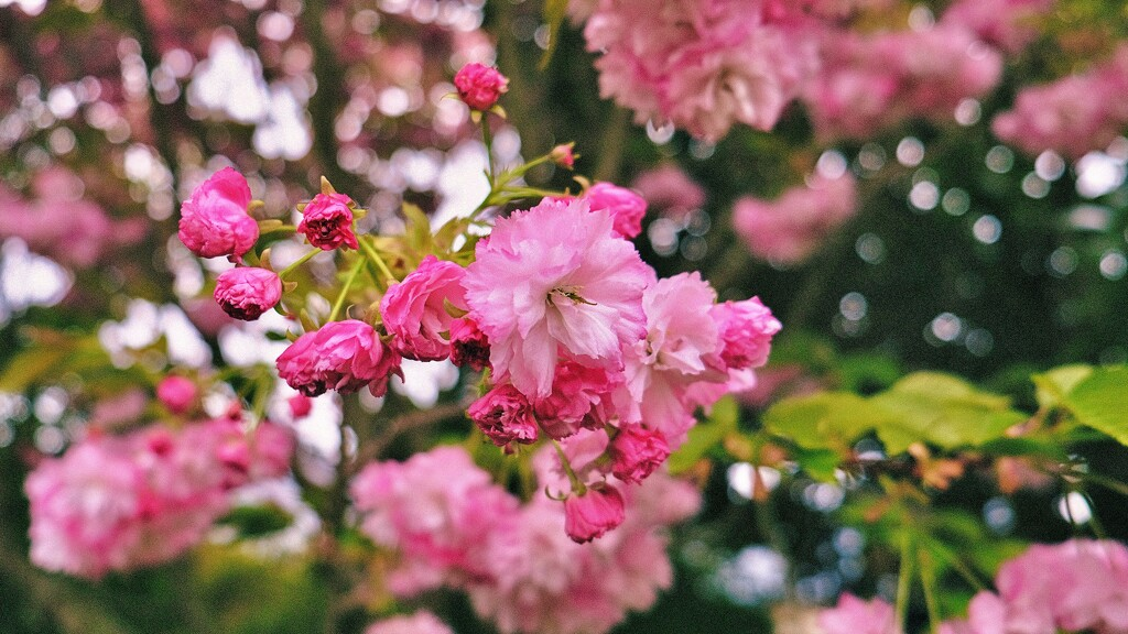 Blossom and Bokeh by maggiemae