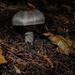 Cap mushroom
