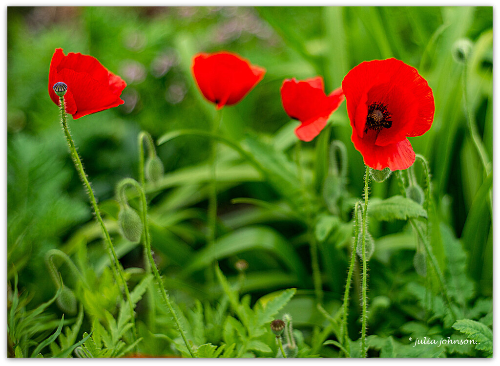 Soldier Poppies.. by julzmaioro