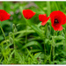 Soldier Poppies..
