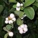 Autumn berries 13: Snowberry