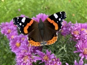 14th Oct 2021 - Red Admiral