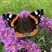 Red Admiral on 365 Project