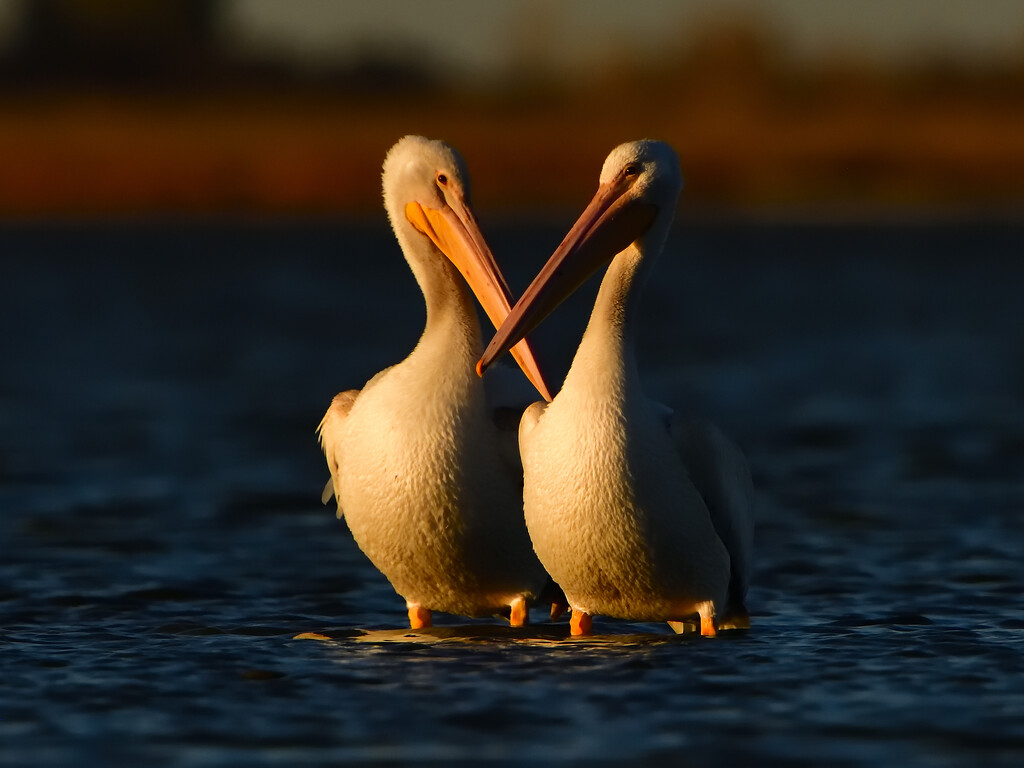 American white pelicans at sunset  by mjalkotzy
