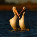American white pelicans at sunset