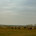 A field of cows