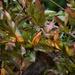 Wild jasmine vine showing a bit of color...