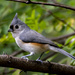 Tufted Titmouse by cwbill