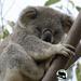 every koala counts