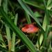 A solitary red mushroom