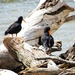 Oystercatchers preening in the driftwood
