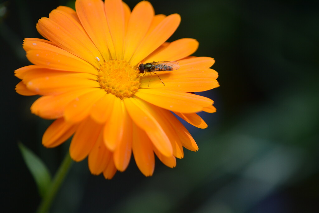 marigold and insect....... by ziggy77