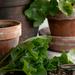 Repotting geraniums