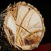 Cross section Ash tree