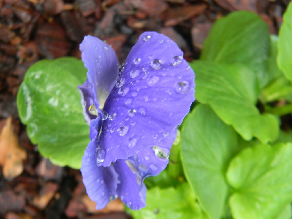 Pansy Flower with Raindrops by sfeldphotos