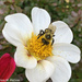 Busy Pollinator