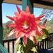 Orang and pink Epiphyllum flower