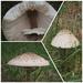Parasol shrooms