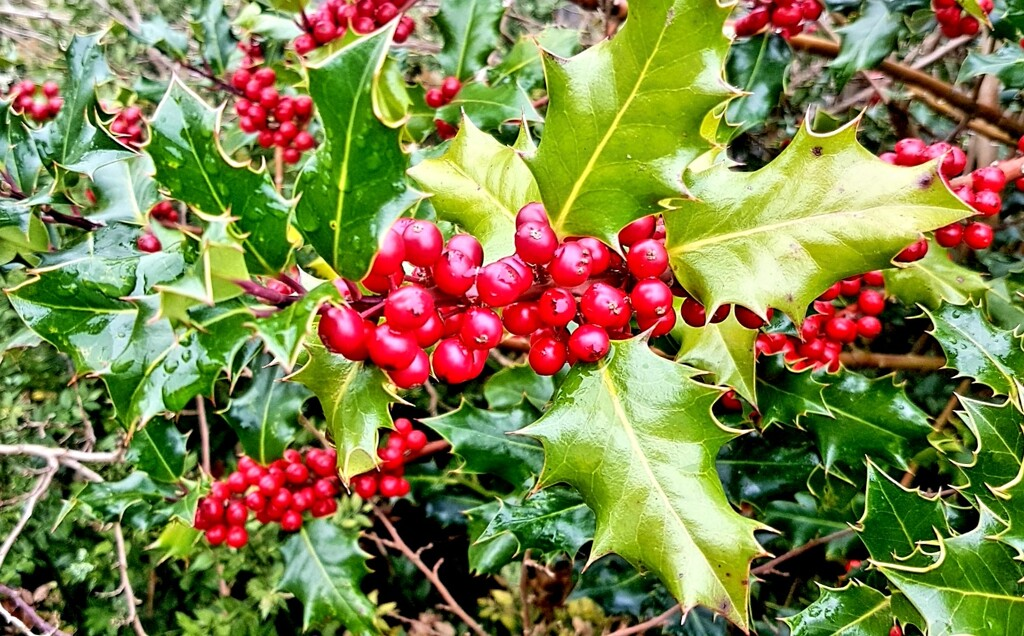 Autumn berries 16: Holly by julienne1