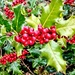 Autumn berries 16: Holly
