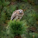 Red-shouldered  Hawk on 365 Project