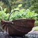 A Basket of Basil!