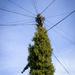 Green telegraph pole