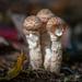 Soprano Solo in Mushroom Trio Concert