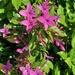 Star Flower.. Shooting Star..    pseuderanthemum laxiflorum ~