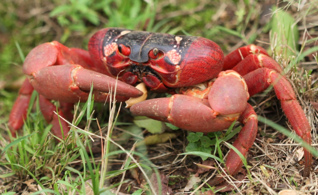 Christmas Island is famous for the red crabs -this one is endeavouring to eat what appeared to be a pistachio nut shell by lbmcshutter