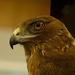 Australasian harrier hawk by maureenpp