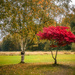 Two Birch Trees and a Japanese Maple…..