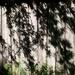 Pyracantha shadows...