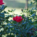 Red rose 10 19 21