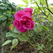 A Small Pink Rose
