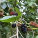 Mulberries