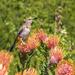 Sugarbird in Kirstenbosch