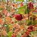 Guilder Rose