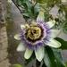 Autumn.. Passion flower