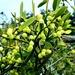 Autumn berries 17: Mistletoe